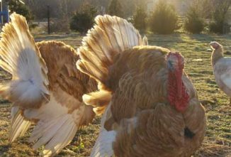 Keeping Jersey Buff Turkeys on a Heritage Turkey Farm