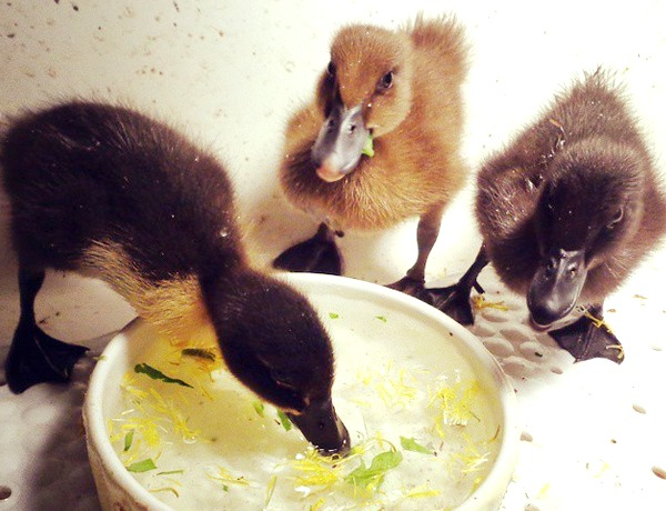 how-to-raise-ducklings
