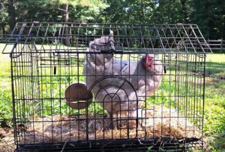 How to Transport Chickens Safely and Easily