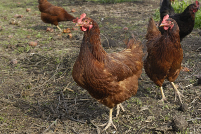 best-chickens-for-eggs