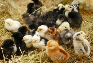 How to Order Baby Chicks in the Mail