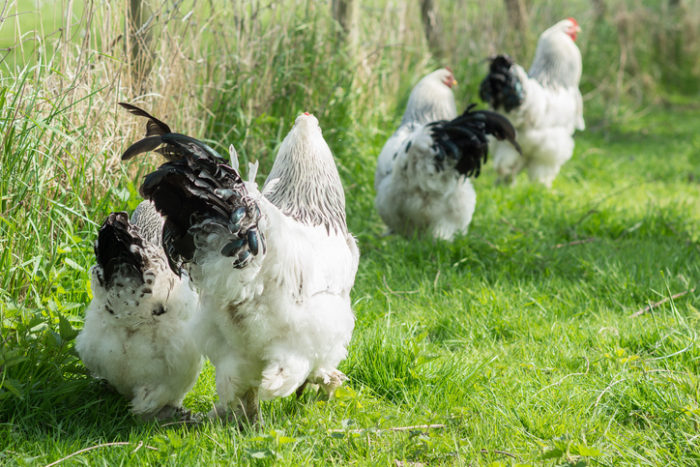 The Scoop on Using Prebiotics and Probiotics for Chickens