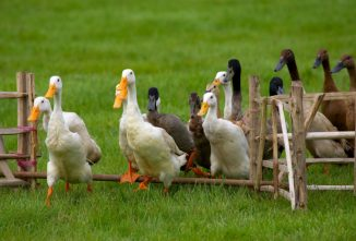 Tips for Raising Runner Ducks