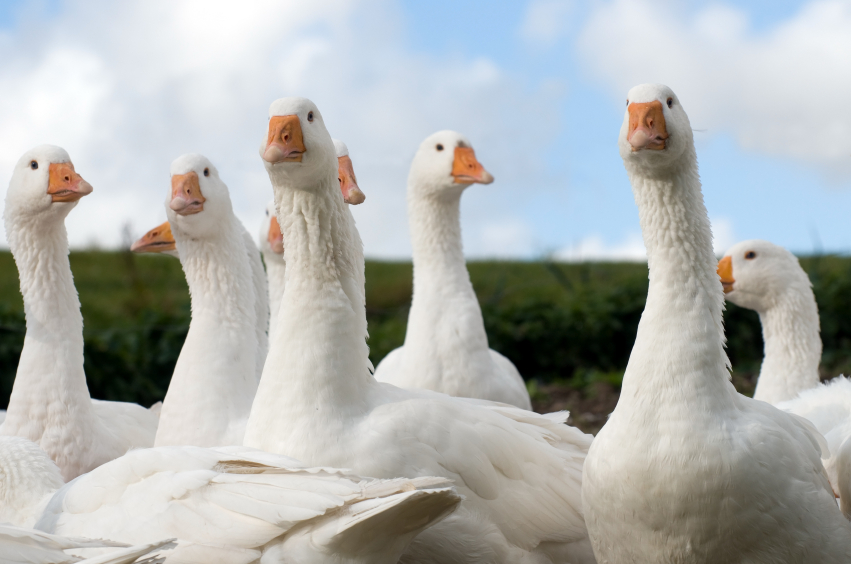 Raising Geese, Choosing a Breed and Preparations