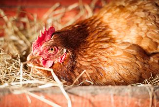 How a Broody Hen Hatches Chicks