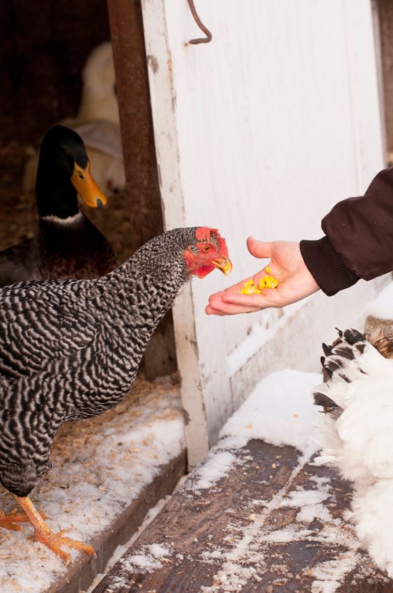 6 Ways to Prepare for Raising Chickens in Winter ...