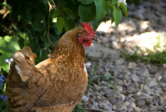Do Chickens Sweat to Cool Down?