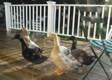 A Beginner's Guide to Keeping Ducks in Suburbia - Backyard