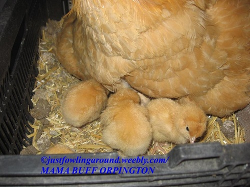 broody-buff-orpington-and-new-chicks