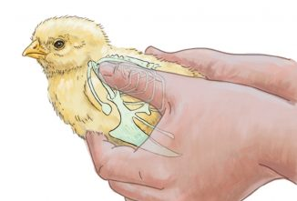 10 Common Mistakes New Poultry Owners Make With Chicks