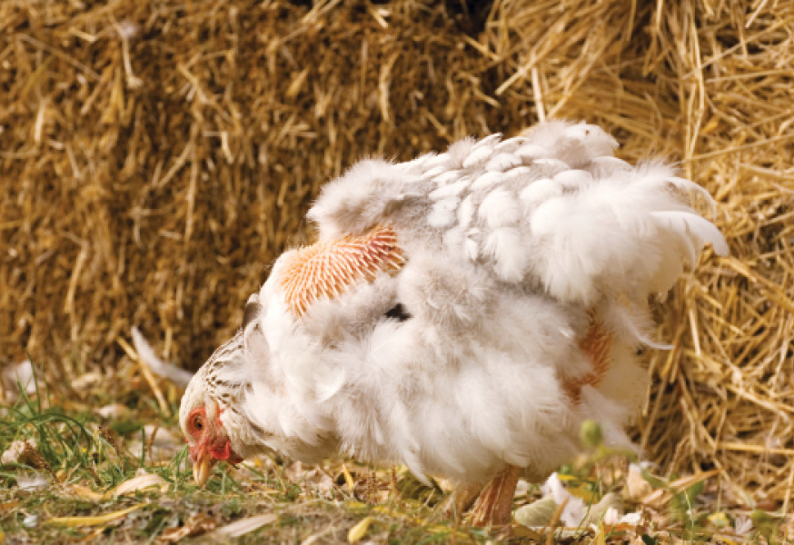 No Jolt During The Molt: Chicken Care in 7 Steps