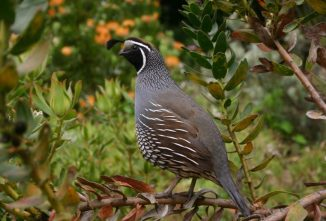 5 Quail Species to Raise