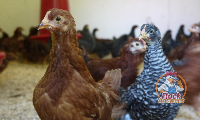 Calcium Supplements for Chickens