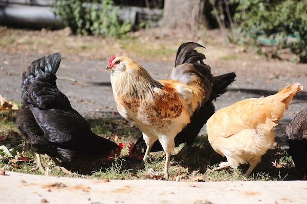 Helping Your Flock Get the Most Out of Their Meals