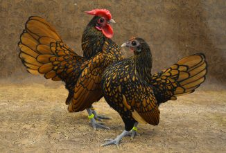 The Delightful Sebright Chicken