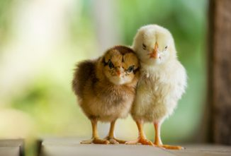 Sick Chicks: 7 Common Illnesses You May Encounter