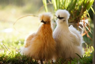 8 Interesting Features of the Silkie Chicken Breed