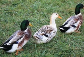 Silver Appleyard Duck Breed Spotlight