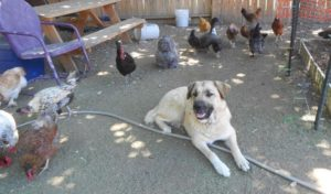 raising-chickens-with-dogs