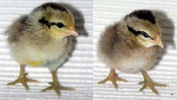 dutch-bantam-chicken-chicks