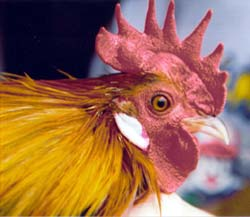 dutch-bantam-chicken