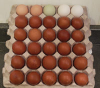 variety of marans chickens eggs