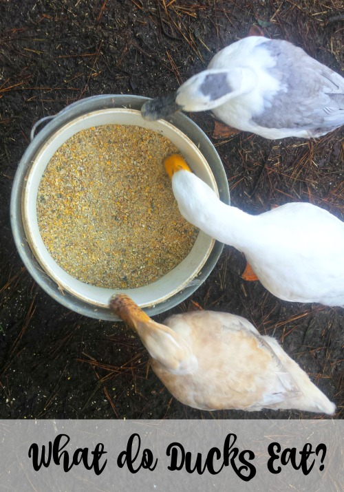 what-do-ducks-eat