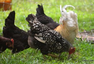 Chicken Feed: Does Brand Matter?
