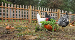 Chickens Eating Pumpkins