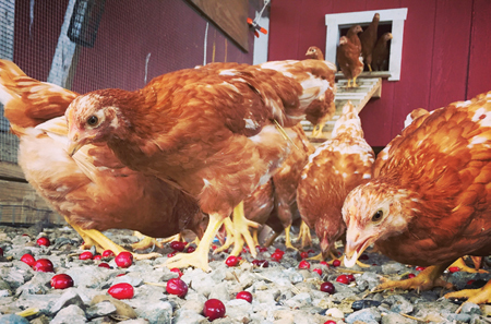 Golden Comet pullets