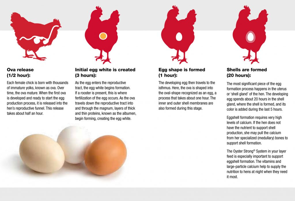 How Hens Make Eggs
