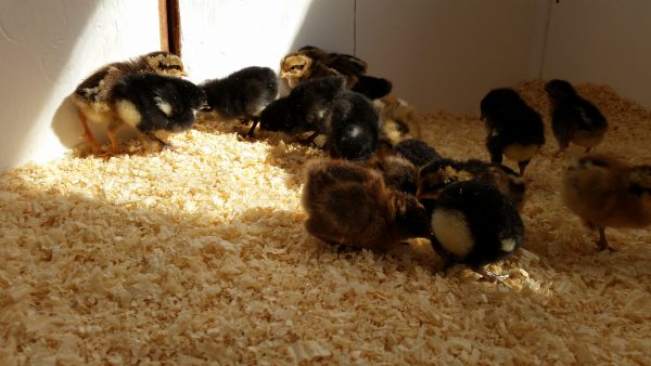 Using the Deep Litter Method in the Coop