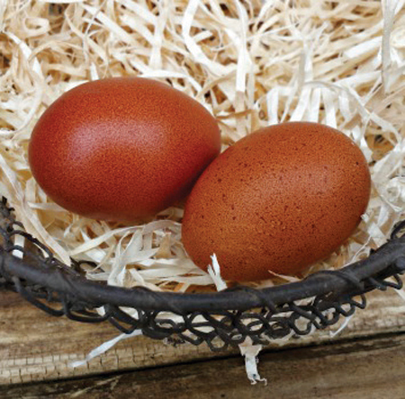 Dark Brown Chicken Eggs