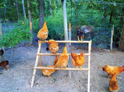 Ken built outdoor perches, and his flock of 62 chickens really enjoy them.