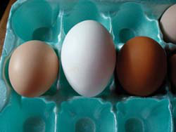 The smallest hen, the Brown Leghorn, BeeBee, lays the biggest, whitest eggs the Griesemers have ever seen. A friend, after seeing the white egg, asked if it was from a goose! They just smiled.