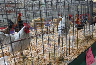 Exotic/Virulent Newcastle Disease Closes California Shows