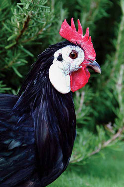 Choosing the right traditional breed for your situation works best when made part of a long-term plan. White Faced Spanish chickens are known for their strong egg-laying abilities and have a long history in the United States. Photo courtesy of Dyanna Byers, California