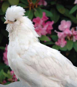 The stunning Sultan chickens originated in Turkey, and according to legend, were used as living ornaments in Sultans' gardens. Photo by Cynthia Smith, Washington