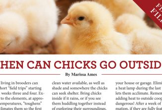 When Can Chicks Go Outside?