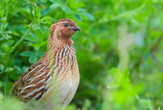 Coturnix Quail Farming: Tips For Smooth Quailing