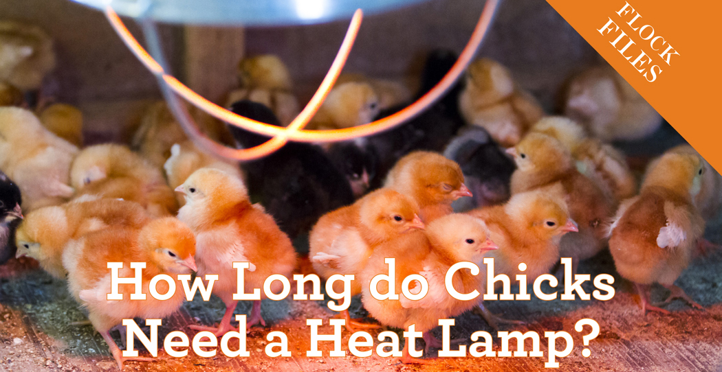 How Long Do Chicks Need A Heat Lamp Backyard Poultry