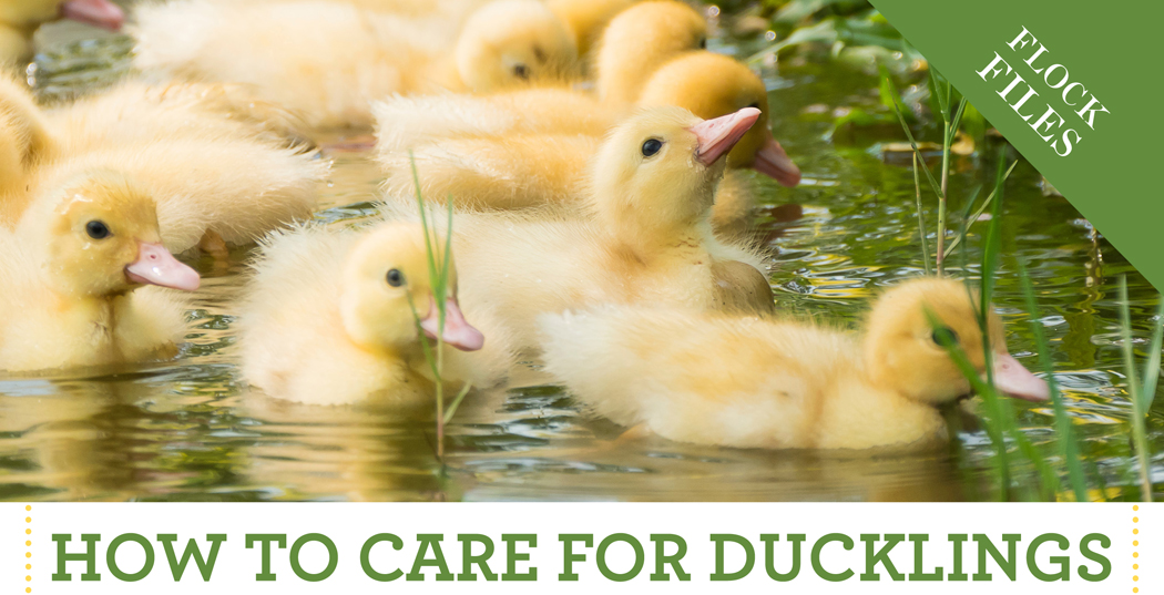 How to Care for Ducklings