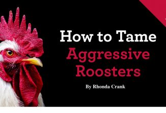 How to Tame Aggressive Roosters