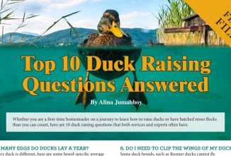 Top 10 Duck Raising Questions Answered