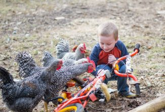 Age-Appropriate Chores for Children with Chickens