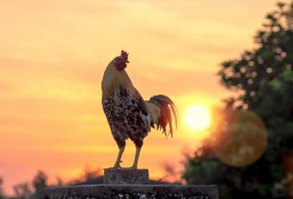 Ask the Expert: Roosters