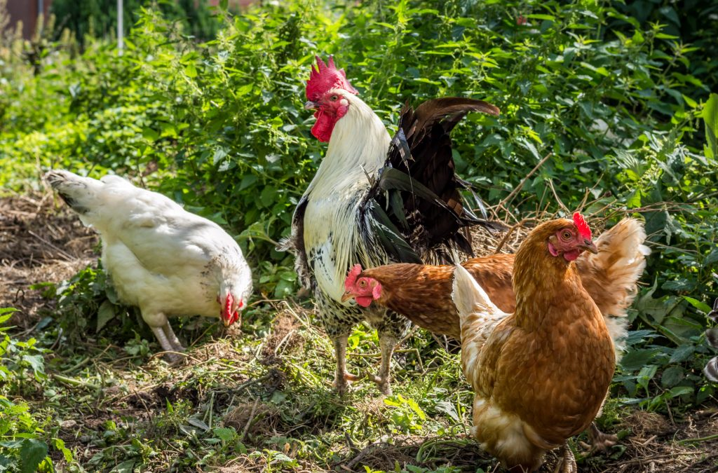 are-chickens-social