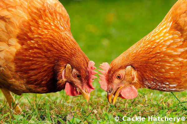 Breed Profile: Golden Comet Chickens
