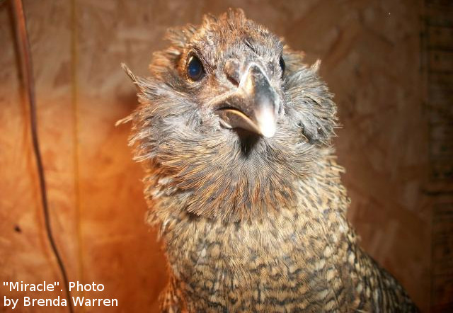 Guinea–Chicken Hybrid: Can Chickens and Guineas Breed?