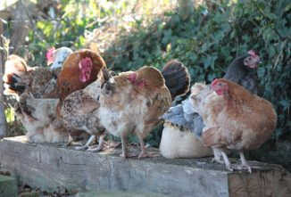Chicken Society—Are Chickens Social Animals?